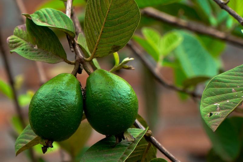 Close-up of guavas on tree