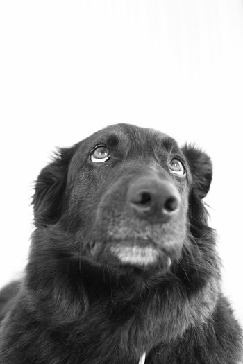 The charmer... My Dog when he's looking to get some good food. Can't say no to those eyes. Portrait B&W Portrait B&w Contrast Everyday Joy