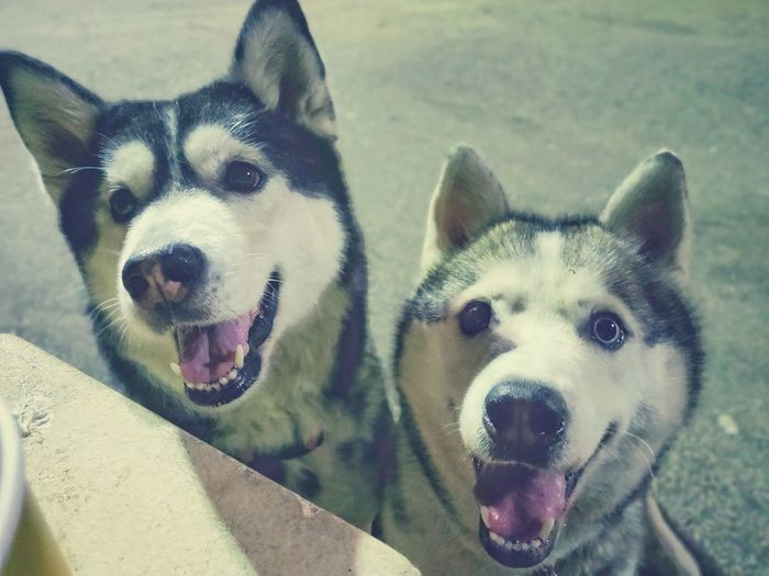 Friends from another planets Two Siberian Husky Friends Another Planet Pets Protruding Portrait Dog Looking At Camera Puppy Sticking Out Tongue Panting Canine