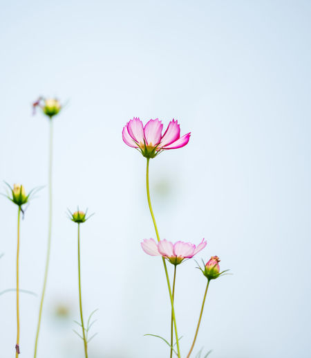 The smell of Spring Flower Flowering Plant Freshness Vulnerability  Fragility Plant Beauty In Nature Growth Petal Pink Color Close-up No People Nature Plant Stem Flower Head Inflorescence Day Cosmos Flower Outdoors Selective Focus Sepal