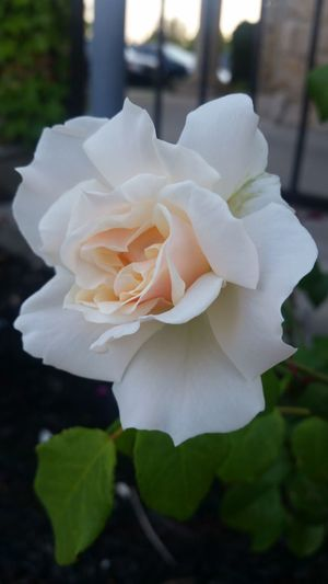 Stop and smell the roses Rose White And Peach Flower Petal Nature Flower Head Plant Rose - Flower Beauty In Nature