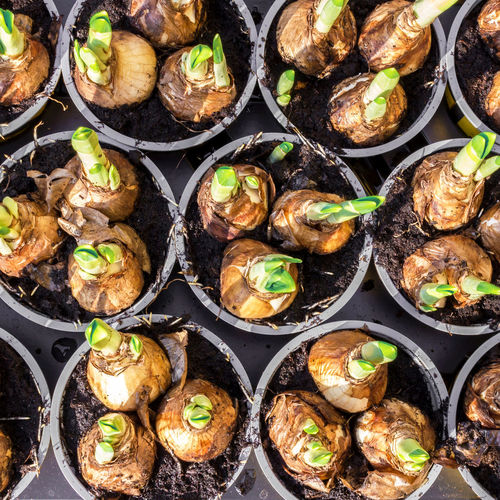 Preparation for planting narcissus close up. Flat lay. Autumn Easter Gardening Green Growth Natural Nature Plant Seed Background Bulb Bulbs Closeup Daffodil Flower Garden Ground Grow Narcissus Pot Root Season  Soil Spring Wooden