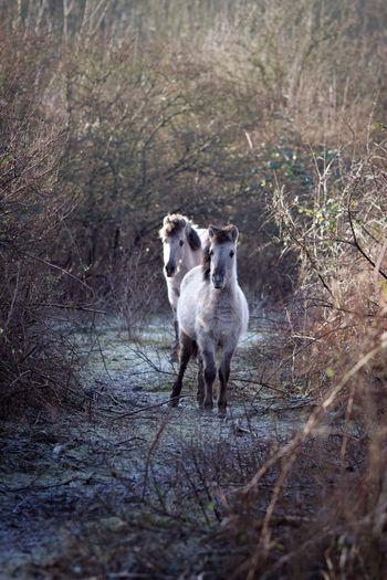 Wild Horses Outdoors Konik Blocking My Way