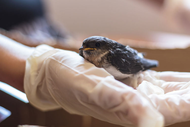 Baby swallow bird