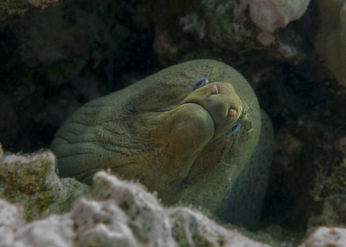 The giant moray eel