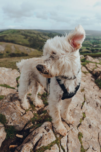 Cute white dog with ears flying in the wind standing on top of the crook peak in mendip hills, uk.