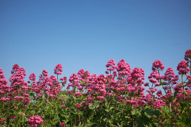Low angle view of pink flowering plants against clear blue sky