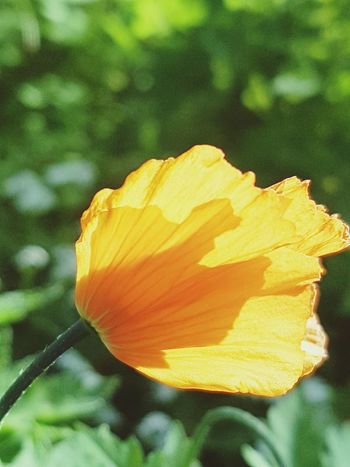 Flower Beauty In Nature Nature Close-up Sunlight Fragility Springtime Soft Focus Poppy Flower Yellow Poppy Yellow Flower Yellow
