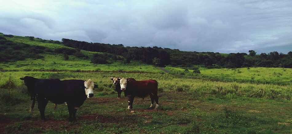 Bulls in the Pasture above Naalehu Town Young Guys Afternoon Walk Grey Sky Hawaii Love