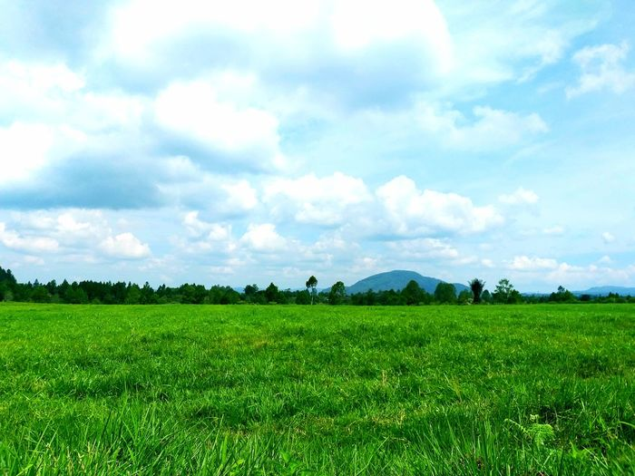 green grass Tea Crop Rice Paddy Cereal Plant Tree Rural Scene Irrigation Equipment Agriculture Field Vegetable Crop