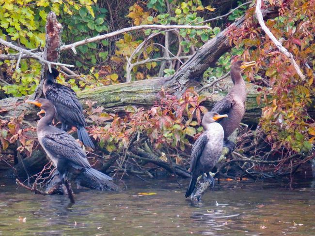Cormorants birds of EyeEm tree branches autumn 🍂 colored leaves water beauty in nature Animal Wildlife Outdoors Group Of Animals No People