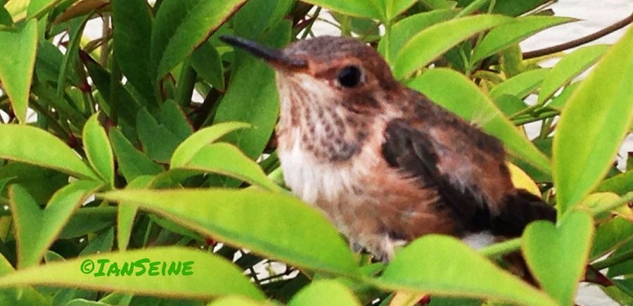 The nest is empty on the 1st day of spring. The hummingbirds have just left the nest. Birds Hummingbird Nature_collection Eye4photography