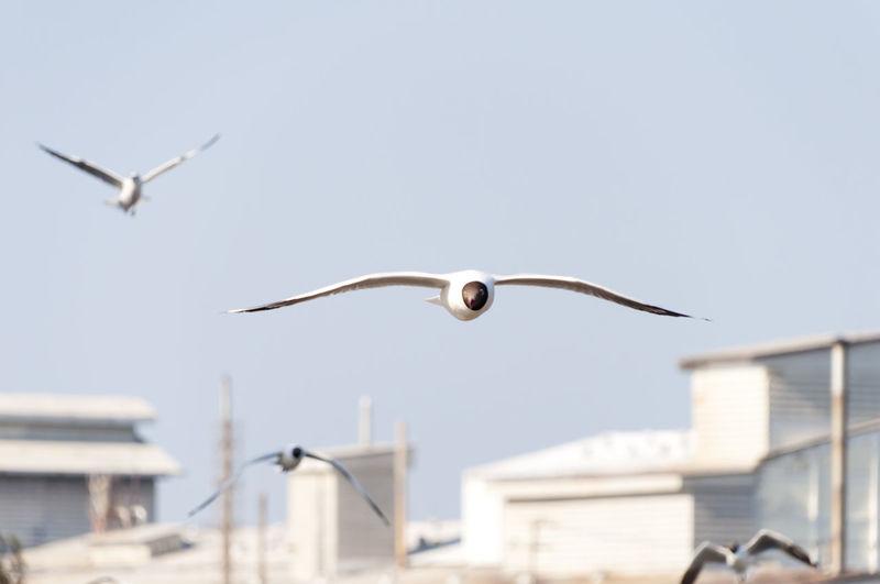 Black-Headed Gulls Flying By Buildings Against Sky