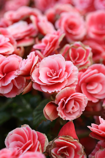 Begonia Flower Red Beautiful Nature Beauty Spring Floral Decoration Natural Fresh Leaf Background Garden Begonias Green Summer Colorful Pink Gardening Closeup Flora Color Plant Park Petal Bloom Botanical Blossom Vibrant Botany Flowers Close Decorative Love Petals