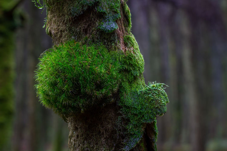 WoodLand Forest Tree Plant Tree Trunk Trunk No People Nature Day Outdoors Green Color Focus On Foreground Moss Growth Close-up Beauty In Nature Isle Of Man Cringle Plantation