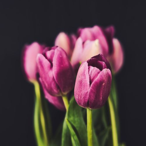 Close-up of pink tulip flower against black background