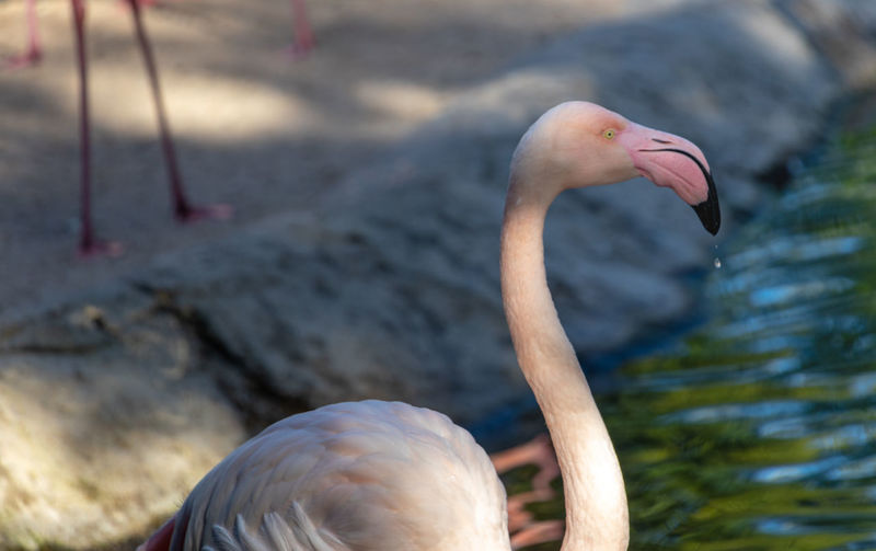 Flamingo Animal Wildlife Animal Themes Animals In The Wild Animal Bird Vertebrate One Animal Focus On Foreground Nature Day Flamingo Water No People Animal Neck Animal Body Part Close-up Beauty In Nature Lake Outdoors Beak Animal Head