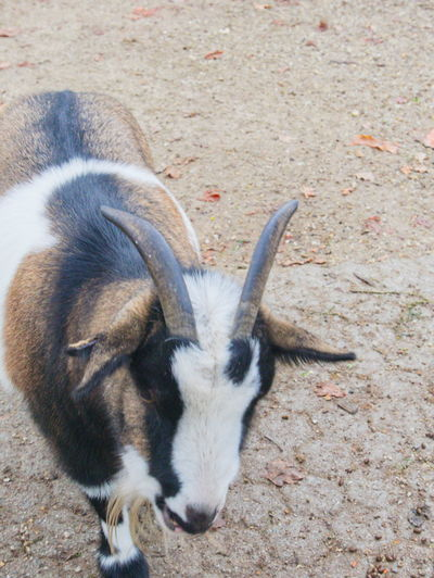 One Animal High Angle View No People Nature Goat Horned Close-up Petting Zoo EyeEmNewHere
