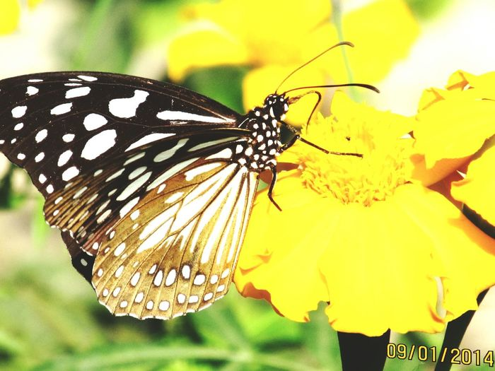 Insect Yellow Butterfly - InsectFlower Beauty In Nature Close-up Flower Head One Animal Animals In The Wild Fragility Animal Wildlife Animal Themes Nature Plant Focus On Foreground