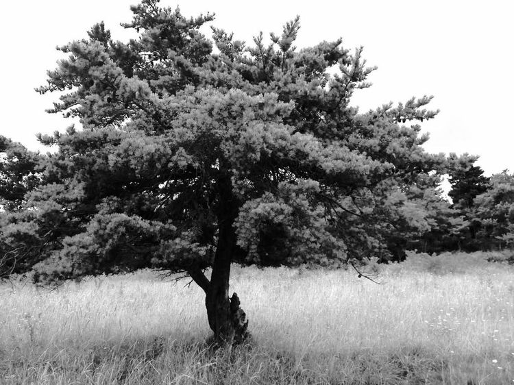 Shenandoah Shenandoah National Park Bigmeadows Black&white Tree_collection  Trees