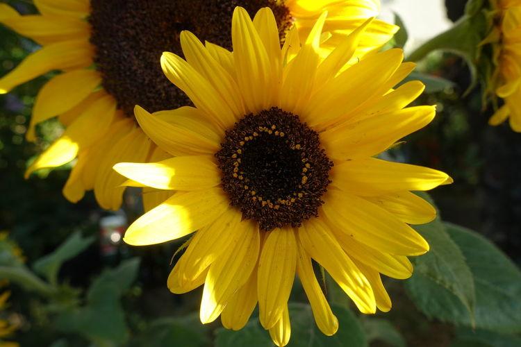 Sunflower Flower Head Black-eyed Susan Flower Yellow Petal Sunflower Springtime Pollen Beauty Close-up Botany In Bloom