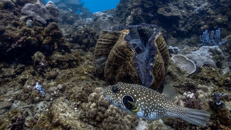 Giant clam and pufferfish at pagkilatan