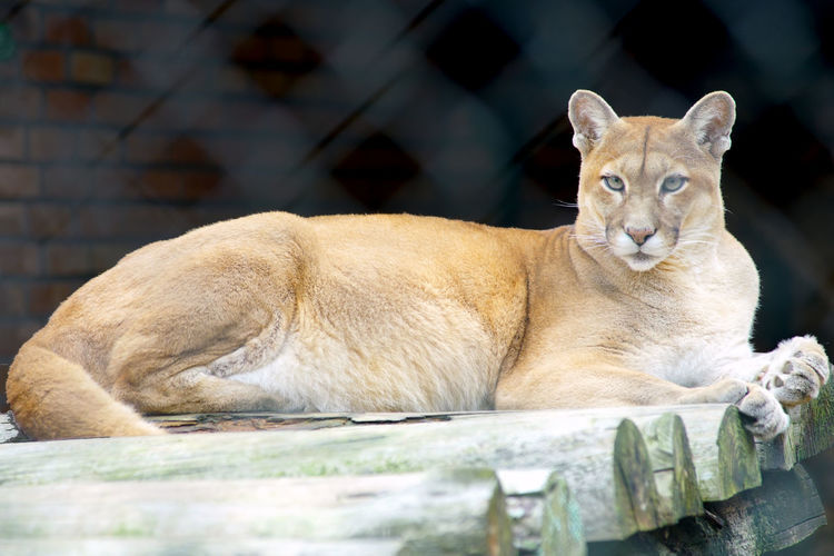 Animal Cougar
