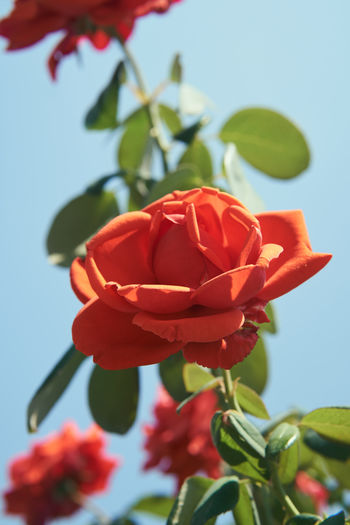 Close-up of red rose on plant
