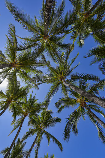 Palm Tree Tree Plant Sky Low Angle View Palm Tree No People Tropical Climate Beauty In Nature Tranquility Nature Clear Sky Day Blue Outdoors Tree Trunk Trunk Tall - High Scenics - Nature Coconut Palm Tree Directly Below Tropical Tree Palm Leaf Palm Tree Hawaii