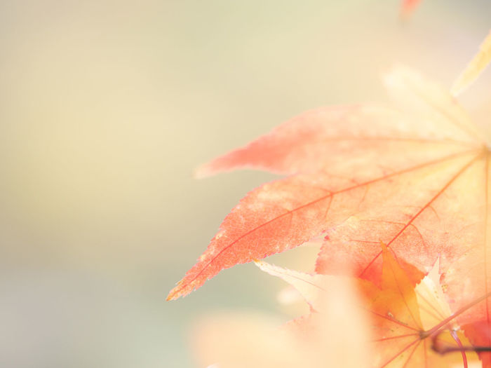 Close-up Plant Autumn Beauty In Nature Plant Part Leaf Nature Selective Focus Change Copy Space Day No People Fragility Orange Color Vulnerability  Growth Outdoors Focus On Foreground Sunlight Sky Maple Leaf Natural Condition Leaves