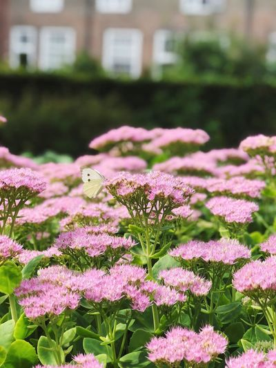 Butterfly Butterfly Flowering Plant Flower Pink Color Plant Growth Beauty In Nature Freshness Day Nature No People Outdoors Focus On Foreground Close-up