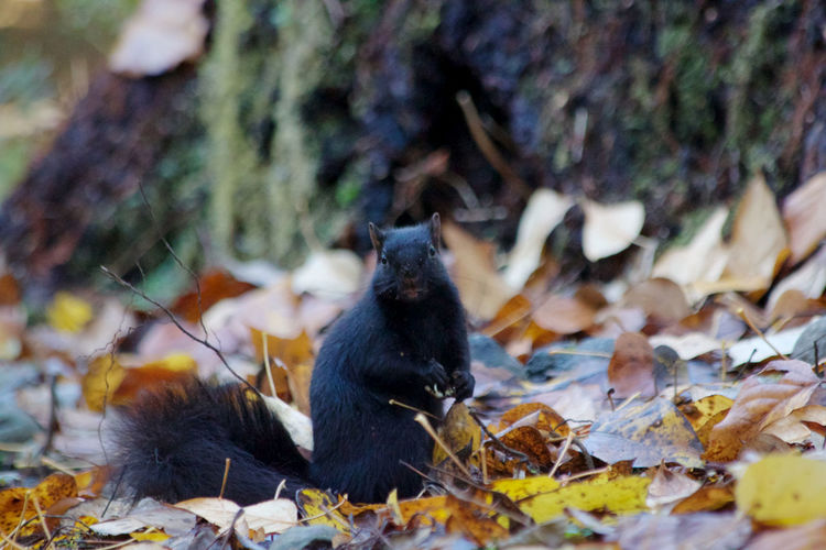 Animal Animal Themes Leaf One Animal No People Leaves Outdoors Black Color Squirrel