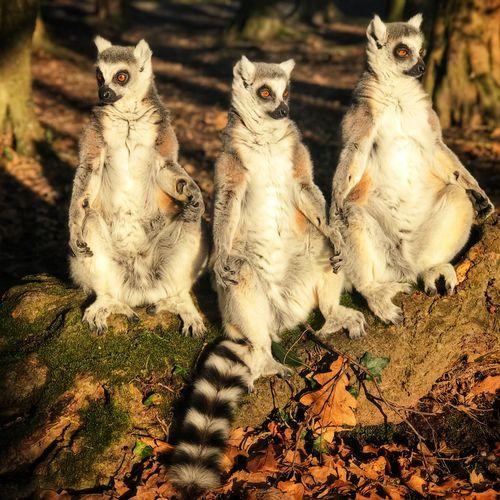 High angle view of lemurs, antananarivo, madagascar