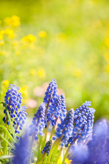 Blue Muscari Mill bunches of grapes in the spring, close-up of bluebell blooming in garden in Poland. Bloom Blooming Blooming In Spring Blue Bluebell Close-up Clump Flower Flowerets Flowering Flowers Muscari Muscari Mill Nature No People Plant Plants Spring