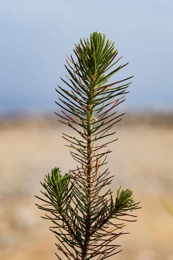Pine Tree Pine