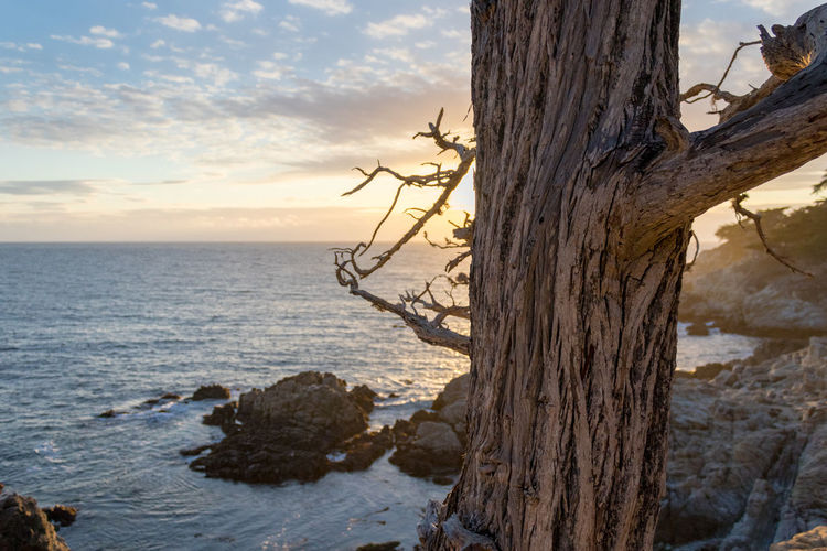 A majestic tree along the Pacific Coast in California Water Sky Sea Tree Land Beauty In Nature Tree Trunk Plant Trunk Nature Tranquility Sunset Horizon Horizon Over Water No People Outdoors Calm Peaceful Bark Old Tree California Coastline Pacific