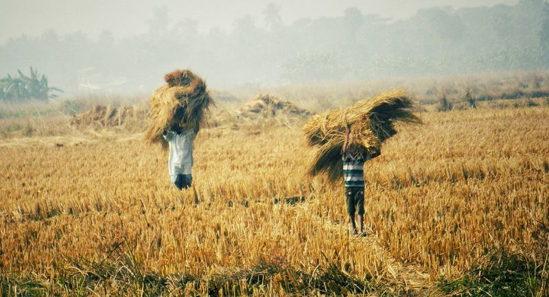 A father and his son carrying paddy in scorching heat. Field Agriculture Crop  Nature Farmer Outdoors Rural Scene Indianphotography WestBengal Eyeemphotography People