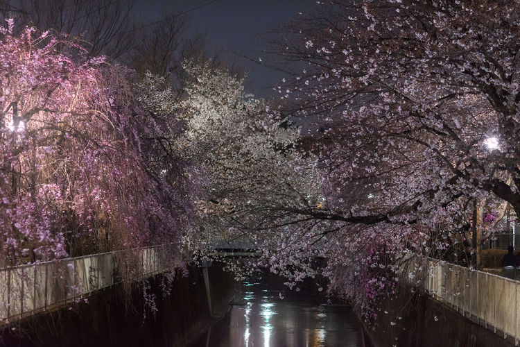 High angle view of cherry blossom by canal at night