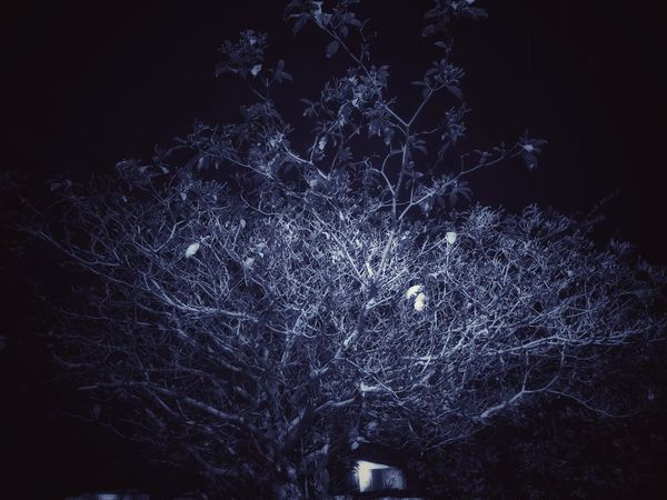 Tree at Night Illuminated Night Tree No People Night Outdoors Nature Illuminated Close-up Black Background