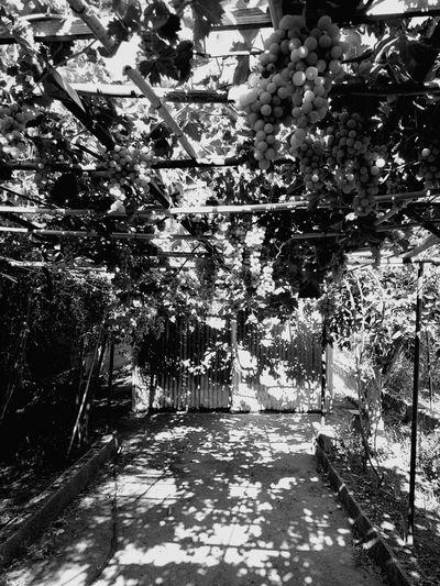 Tree Outdoors Growth Day No People Nature Sunlight Beauty In Nature Sky uva da tavola Nature Biologica di ziu Albino il nonno di 94 anni