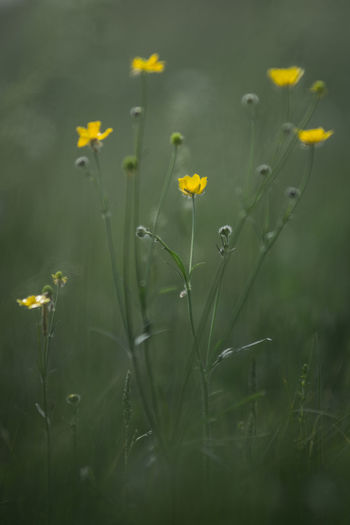 wild yellow flowers in a field, summer Colors Field Grass Green Nature Plants Russia Bokeh Closeup Summer Wild Yellow Yellow Flowers