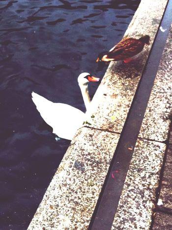 Swan Lake Como Duck