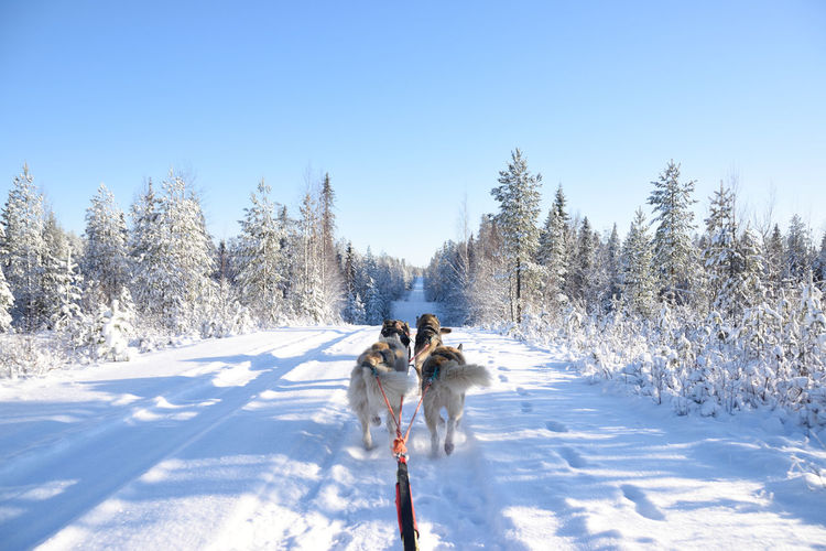Sled dogs on snow covered field against clear sky