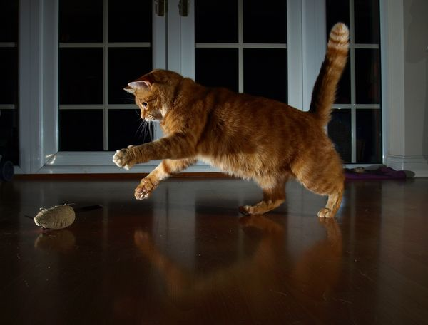 Sneak attack Animal Themes Cat Claws Domestic Animals Domestic Cat Feline Ginger Ginger Cat Indoors  Laminate Flooring Mammal No People One Animal Pets Play Playing Toy Mouse