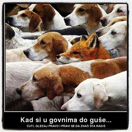 Animals Hummor Dogs