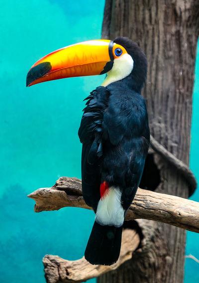 Tukan Papagei