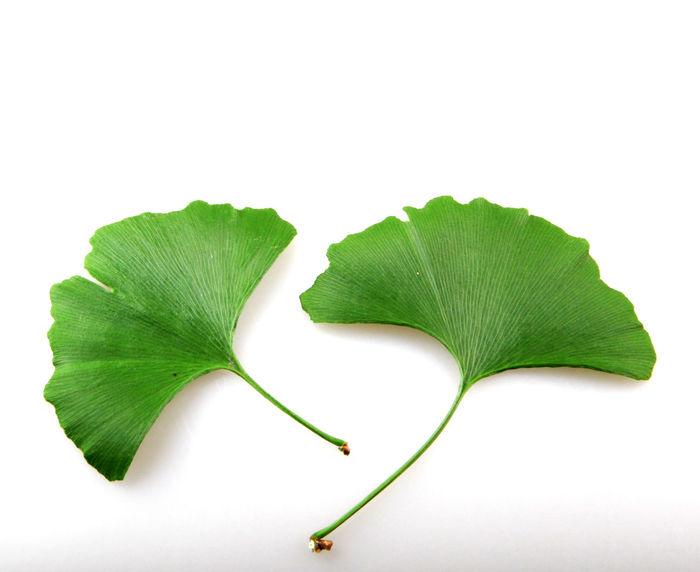 Fresh ginkgo biloba leaf on a white background Alternative Therapy Ginkgo Herb Leaf 🍂 Nature Plant Alternative Medicine Beauty Chinese Herbal Medicine Close-up Cut Out Freshness Ginkgo Tree Green Color Healthcare And Medicine Herbal Medicine Homeopathic Medicine Ingredient Leaf Macrophotography Nature No People Photography Studio Shot White Background