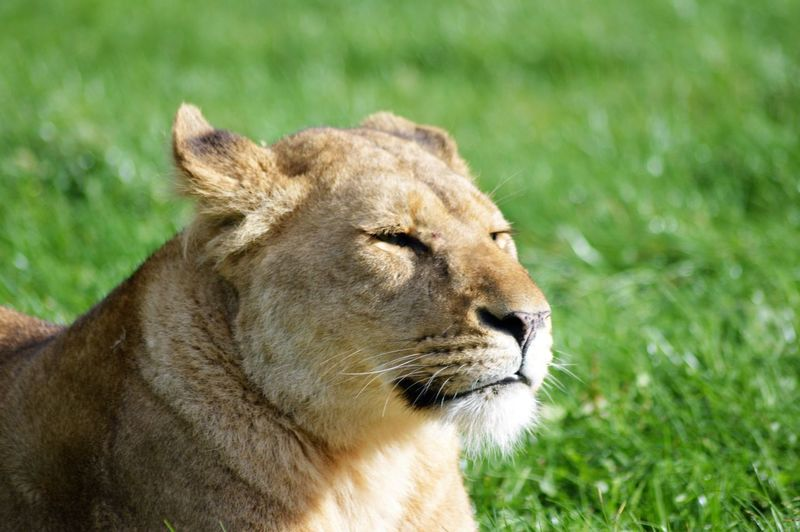 Lions on a grassy plain African Lion Panthera Leo Relaxing Africa Animal Portrait Barbary Cat Feline Furry Lioness Predator Relaxed Simba Teeth Whisker Wildcat The Traveler - 2018 EyeEm Awards