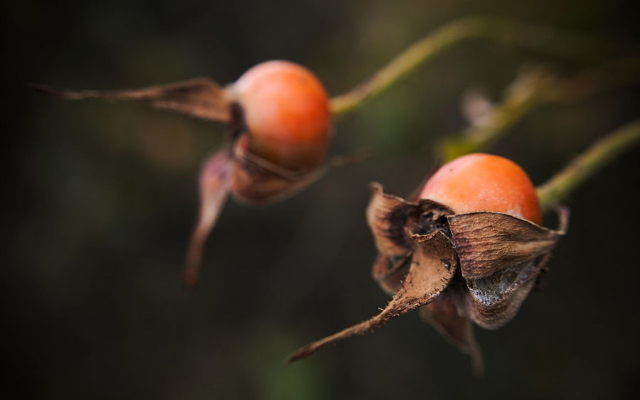 Rose hips - fall time Autumn Autumn Colors Fall Colors Beauty In Nature Close-up Day Fall Focus On Foreground Food And Drink Freshness Fruit Growth Koaxial Nature No People Outdoors Rose Hips Tree