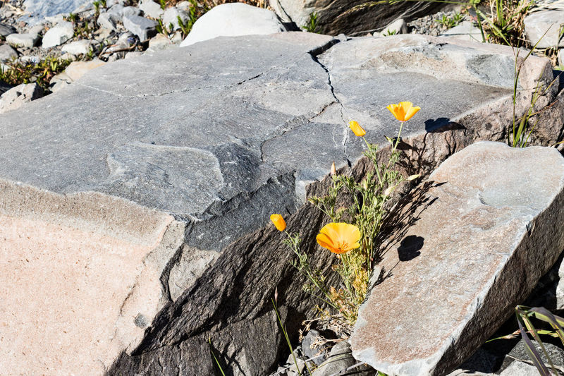 Hope Wanaka New Zealand Beauty Rock Solid Flower Rock - Object Nature Flowering Plant Plant No People Day Yellow Outdoors Vulnerability  Beauty In Nature Fragility Close-up Growth High Angle View Sunlight Challenge Freshness Flower Head Wild Hope